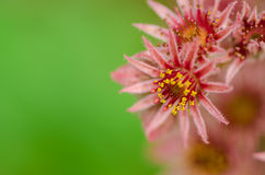 Macro of blooming sempervivum cactus flowers Stock Photography
