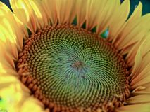 Beutiful closeup of a big blooming sunflower royalty free stock photo