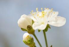 Macro of blooming tree flower Stock Photo