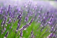 Macro of blooming violet lavender flowers. Provence nature background. Lavender field in sunlight with copy space stock photography