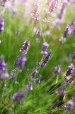 Macro of blooming violet lavender flowers. Provence nature background. Lavender field in sunlight with copy space stock images