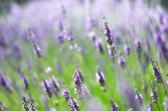 Macro of blooming violet lavender flowers. Provence nature background. Lavender field in sunlight with copy space. Summer concept, selective focus Stock Image