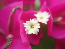 Macro, blossom tiny white floret on pink Bougainvillea glabra. Or Paper flowern stock photography