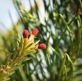 Macro of blossoming pine tree Stock Image