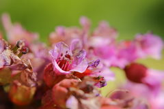 Macro of blossoms of Bergenia crassifolia, the leather bergenia Royalty Free Stock Photography
