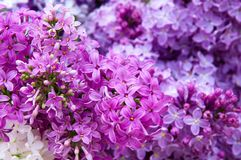 Macro of blossoms from a lilac bush flower Stock Photo
