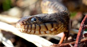 Macro blotched watersnake. Detailed close up shot of a blotched watersnake (Nerdodia erythrogaster stock images
