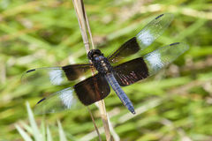 Macro blu della libellula Fotografia Stock