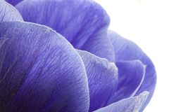 Macro of blue anemone petals on white background. Anemona coronaria royalty free stock images