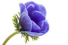 Macro of blue anemone petals on white background. Anemona coronaria, involucro royalty free stock photos