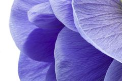 Macro of blue anemone petals on white background. Anemona coronaria, involucro royalty free stock photography