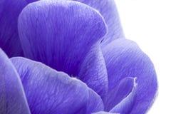 Macro of blue anemone petals on white background. Anemona coronaria, involucro royalty free stock photo
