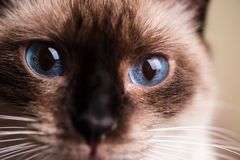 Macro of a blue cat eyes. Macro of a blue eyes from a siamese cat Stock Image