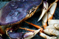 Macro Blue Crab Stock Photo