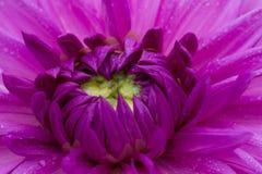Macro of a blue dahlia Royalty Free Stock Photos