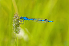 Macro of a Blue Damselfly. Close-up of a blue damselfly holding onto grass seed Stock Photo