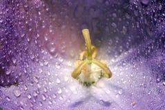 Macro Blue Flower Stock Image
