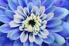 Macro of blue flower aster Stock Photo