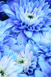 Macro of blue flower aster Royalty Free Stock Image