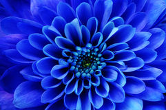 Macro of blue flower aster Stock Image