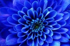 Macro of blue flower aster Stock Image
