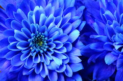 Macro of blue flower aster Royalty Free Stock Images