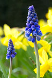 Macro of a blue grape hyacinth Royalty Free Stock Photography