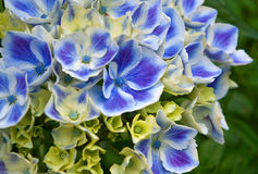 Macro of Blue Harlequin Hydrandea Flower Royalty Free Stock Images