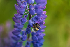 Macro Blue Lupine Flower And Flying Bumblebee. Shallow DOF. Blurry Background. Stock Photo