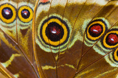 Macro of blue morpho butterfly wing. Macro detail of blue morpho ( morpho peleides) butterfly wing, bottom view Royalty Free Stock Photo