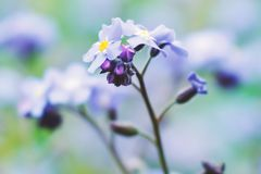 Macro blue petals forget-me-not. Spring wildflowers. Close up. Selective focus. Bokeh royalty free stock images