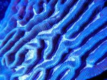Blue platygyra brain coral underwater. Macro of a blue platygyra maze brain coral growing underwater in a saltwater reef aquarium system stock photos