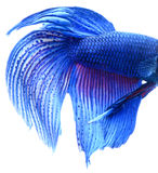 Macro of Blue Siamese fighting fish, Betta Splendens isolated on Royalty Free Stock Images