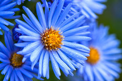 Macro of blue spring flowers with morning water dew drops, close up royalty free stock photography