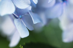 Macro blue violet petals and pistil of hortensia flower on green blurred background Stock Photo
