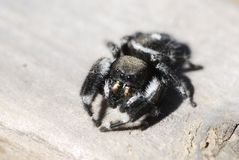 Macro Bold Jumping Spider Stock Photos