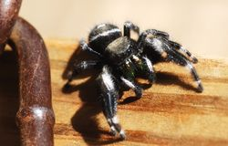 Macro Bold Jumping Spider. Bold jumping spider on wood with chain Stock Images