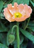 Macro bonito de uma flor alaranjada do cachorrinho imagem de stock royalty free