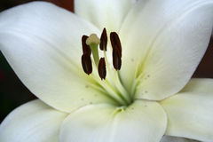 Macro bonito do lírio branco Foto de Stock