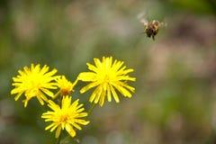 Macro botánica del jardín del amarillo de la naturaleza del vuelo de la abeja Imágenes de archivo libres de regalías