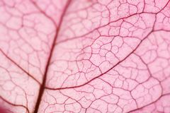 Macro of a bougainville flower leaf royalty free stock photos