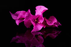 Macro of bougainvillea flower Stock Images