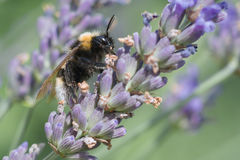 Macro of Bourdon on lavender Royalty Free Stock Images