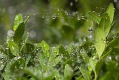 Macro of boxwood in rain Royalty Free Stock Image