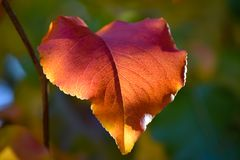 Macro of Bradford Pear Leaf in Autumn Colors stock image