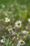 Macro of the branch of Asters Stock Photography