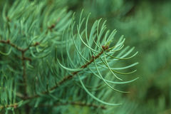 Macro branch fir Stock Photo