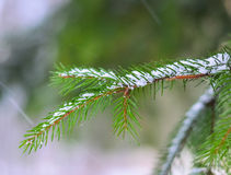 Macro branch. Of tree with snow in the winter season Stock Photography