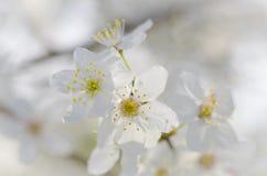 Macro branco da flor de cerejeira Fotografia de Stock