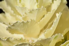 Macro brassica leaves. Is soft focus royalty free stock photo